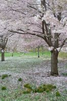 Cherry Blossoms 7 by FairieGoodMother