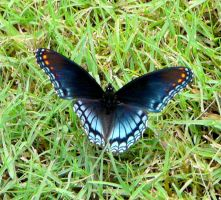 Red-spotted Purple by duggiehoo