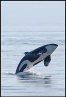 Leaping Wild Orca by nitsch