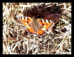 :: butterfly :: by synergia