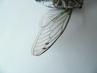 Cicadawing by glasswillow