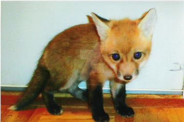 Baby red fox 1 by Anna-aurion