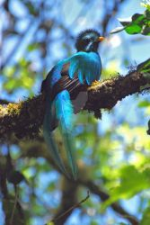 Male Quetzal by Kojo46