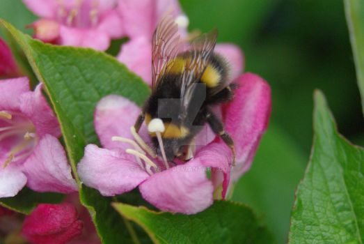 Buffed-tail Bumble Bee #2 by emilybee