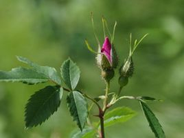 Wild Rose Bud by barcon53