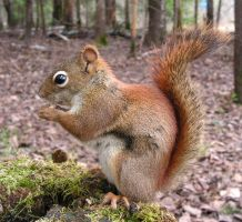 A Reddish-Brown Squirrel by JocelyneR