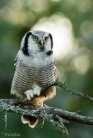 Northern Hawk Owl 5 by ErikEK