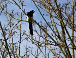 Magpie? by LouHartphotography