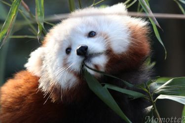 Sweetest face of baby red panda by Momotte2