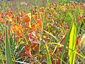 Fields of... poison ivy? by asilaydyingdl