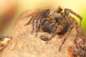 Wandering Spider by melvynyeo