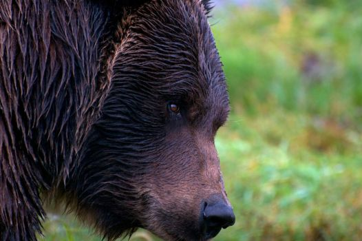 Grizzly bear in the rain by Mandocello