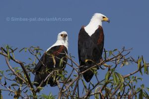 African Fish Eagles by Simbas-pal
