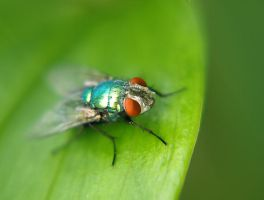 metallic turquoise fly by ScarletWarmth