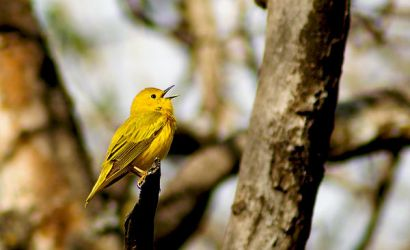 Yellow Warbler 02 by JJJINK