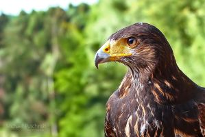 Harris Hawk by MichaelPuschinski