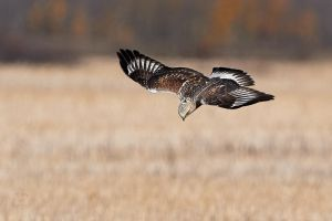 Rough-legged Hawk-Dive by JestePhotography