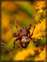 Orb-weaver Spider 40D0030450 by Cristian-M