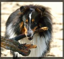 Playing sheltie by miezbiez