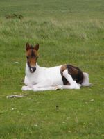 Moorland foal by The-strawberry-tree