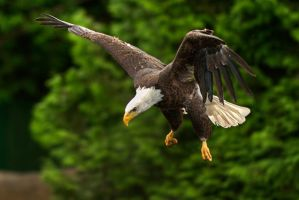 Meal in view - Bald Eagle by MichelLalonde