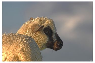 just a sheep by oetzy