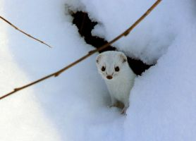 The winter weasel by eRiver
