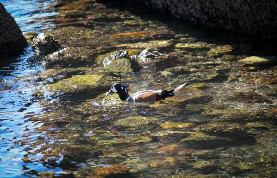 Hunting for crustaceans - Male Harlequin Duck by Spirit-whales