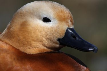 Ruddy Shelduck Portrait by cycoze