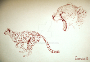 Cheetahs by Comacold