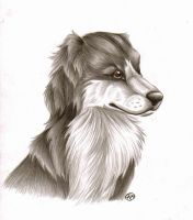 Border Collie by Loco-Lu