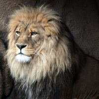 African Lion.4. by HecklingHyena