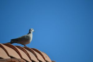 Dove - 4 by Silver-Stock-Images