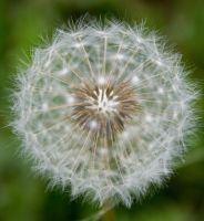 Dandelion Seeds by JoeGP