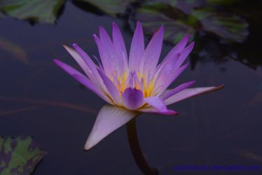 Water lily by pickleduck3