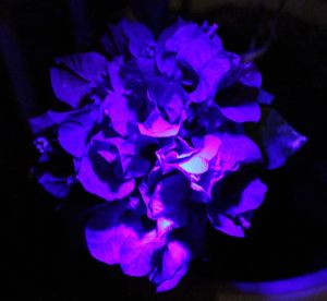 Blacklight experiment again by Maleiva