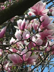 Magnolias (3) by Michies-Photographyy