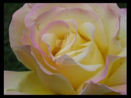 Yellow With A Hint of Pink by DWALKER1047