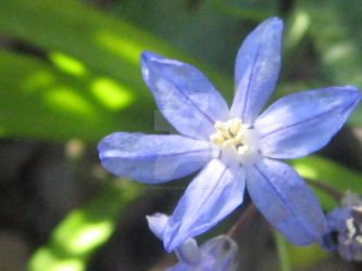 Chionodoxa sardensis in the sunlight by Eternatease