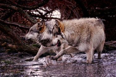 wolves synchronized dancing by Yair-Leibovich