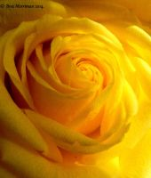 Yellow Rose Macro II by BreeSpawn
