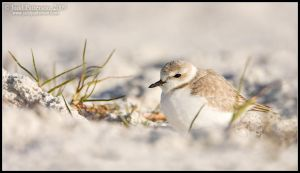 Snowy Plover by juddpatterson