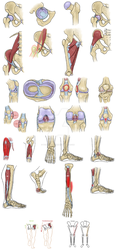 Lower Extremity Anatomy Illustrations by TaintedRequiem