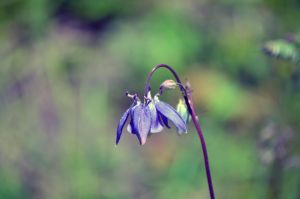 Aquilegia by tonnyfroyen