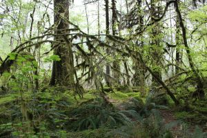 Hoh trees 5 by seancfinnigan