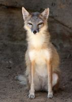 Swift Fox Raggedy by Jack-13