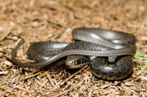 Coluber constrictor priapus by michael-ray