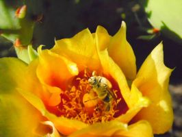 Bee and Cactus Flower by TheGerm84