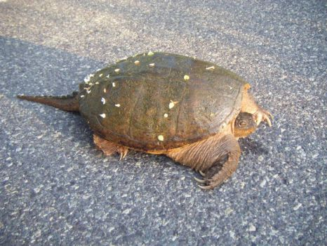 Snapping turtle by PeachAnn