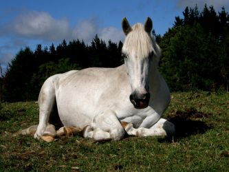 Horse Laying by CKequine
